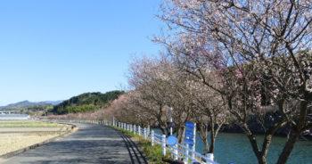 樫井川の梅‗2月19日
