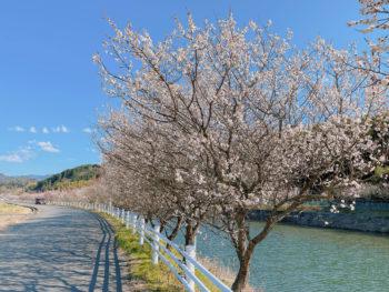 樫井川の梅‗2月22日