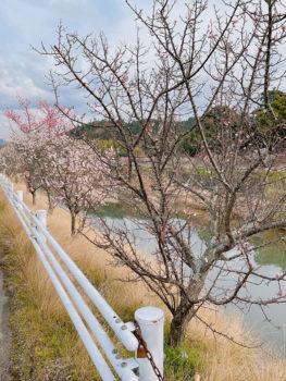 樫井川の梅‗3月4日