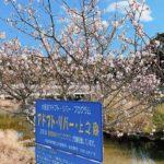 樫井川の梅