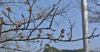 210315‗永楽ダムの桜