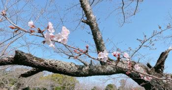 210319‗永楽ダムの桜