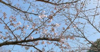 210319‗水間寺の桜