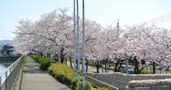 泉の森ホールの桜並木