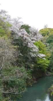 大井関公園ろじ渓の桜