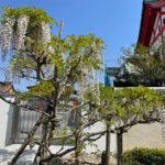 奈加美神社の藤