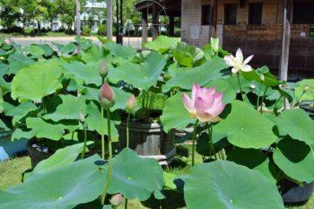 蓮の鉢植え展示