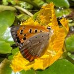 長池オアシス‗シジミチョウ