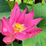 蓮の鉢植え展示‗紅領巾