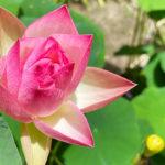 蓮の鉢植え展示‗小三色