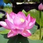 蓮の鉢植え展示‗艶陽天