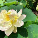 蓮の鉢植え展示‗ミセス・スローカム