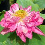 蓮の鉢植え展示‗八重茶碗蓮