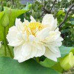 蓮の鉢植え展示‗白万々
