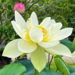 蓮の鉢植え展示‗白雪公主