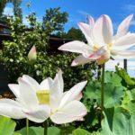蓮の鉢植え展示‗紹興紅蓮